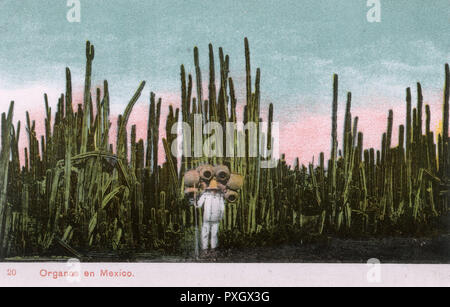 Impressive Tall Mexican Fence Post Cactus Grove (Pachycereus Marginatus) and a pot seller (carrying his wares on his back) - Mexico.     Date: 1910s - Stock Image