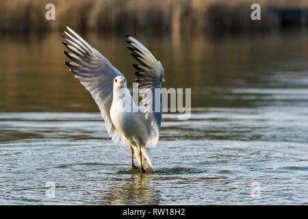 Seagull taking flight from a lake at sunset - Stock Image
