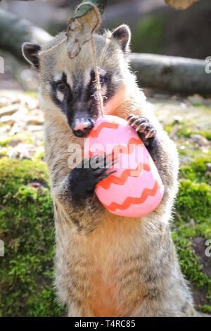 ZSL London Zoo, London, UK. 18th Apr, 2019. The Zoo's four ring-tailed coatis (Nasua nasua), Frankie, Shaggy, Velma and Brush, search their den to find brightly coloured eggs stuffed with their favourite tasty crickets Credit: Imageplotter/Alamy Live News - Stock Image