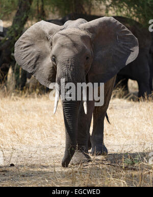 African Elephant moving from his flock towards the photographer. - Stock Image