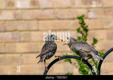 Juvenile starling bird (Sturnus vulgaris) demanding food from adult - Stock Image