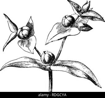 . The natural history of plants. Botany. XLI. EUPHORBIACE^. 1. EUPEOEBTA (Sptjege) SEEIES. Yarious descriptions have been given of the flower of the Euphorbias I (fig. 143-152). According to the earliest it is regular, hermaphrodite and pentamerous. The xeceptacle, varied in Euphorbia Lathyris,. Please note that these images are extracted from scanned page images that may have been digitally enhanced for readability - coloration and appearance of these illustrations may not perfectly resemble the original work.. Baillon, Henri Ernest, 1827-1895; Hartog, Marcus Manuel, 1851-. London, L. Reeve & - Stock Image