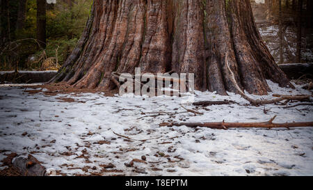 Base of the trunk of a giant tree, Sequoia sempervirens, at Calaveras Big Trees State Park, with some old snow on the ground in the end of winter - Stock Image