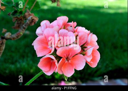 Pink Geranium , Pelargonium,  Mission Viejo, CA 80520_30447 - Stock Image