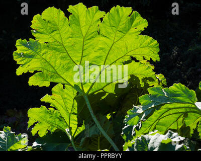 Backlit foliage of the giant leaved marginal aquatic hardy perennial, Gunnera manicata, showing the leaf structure - Stock Image