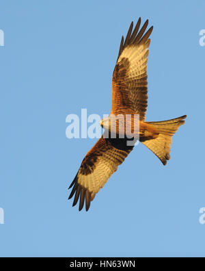 Red kite (Milvus milvus) adult in flight in evening light. Powys, Wales. November. - Stock Image