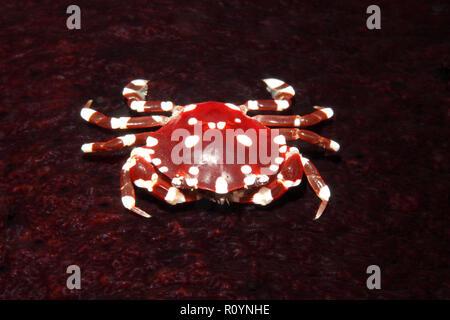 Sea cucumber Crab, Lissocarcinus orbicularis, living on the Black Sea Cucumber, Holothuria atra. Uepi, Solomon Islands. Solomon Sea, Pacific Ocean - Stock Image