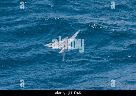 Indian Ocean Flying Fish, in mid air, Maldives, Indian Ocean - Stock Image