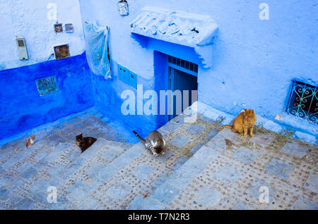 Chefchaouen, Morocco : Cats line along the steps opposite a blue-washed house in the alleyways of the medina old town. - Stock Image