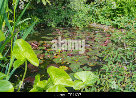Water Lilies (Nymphaeaceae, Lily pads, Waterlilies, Lilypads) in water in a pond in Spring in the UK. - Stock Image