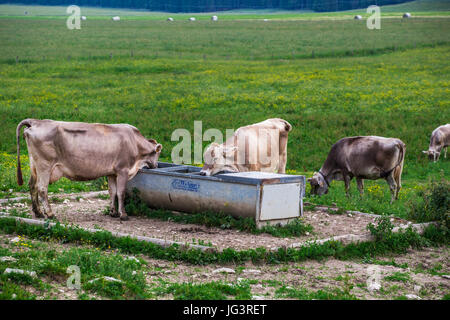 Cows (Swiss Braunvieh Breed) drinking water from a waterhole in the meadow. - Stock Image