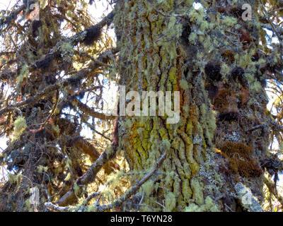 Ghost Tree - Stock Image