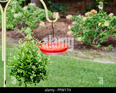 Young juvenile ruby throated hummingbird, Archilochus colubris, resting on a red feeder while it feeds, in a garden or yard in Alabama, USA. - Stock Image