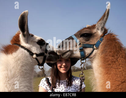 Two Llamas in close up with owner - Stock Image