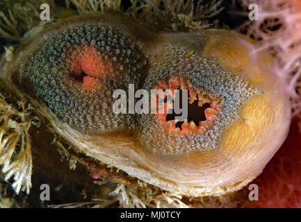 Northwest Ugly Clam, Entodesma navicula - Stock Image