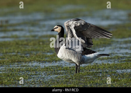 Barnacle Goose flexes its Wings on Wetland in Scotland - Stock Image