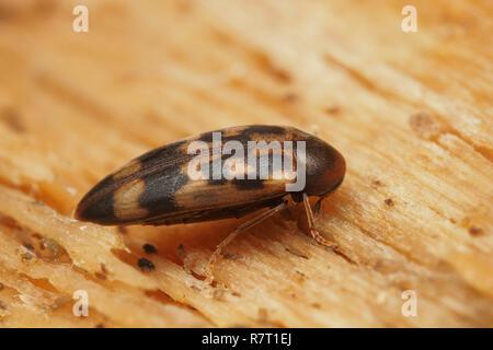 False darkling beetle (Orchesia undulata) on decaying timber. Tipperary, Ireland - Stock Image