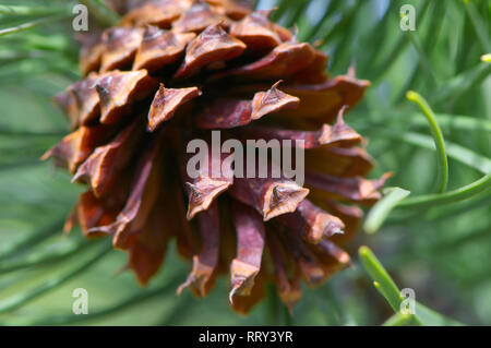 Close-up look at a Ponderosa (Pinus) pine cone on the tree. - Stock Image