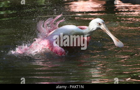 Bathing Roseate Spoonbill (Platalea ajaja) flapping wings in a lake. - Stock Image