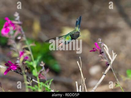 A male Broad-billed Hummingbird (Cynanthus latirostris) in flight in a garden. Tucson - Stock Image