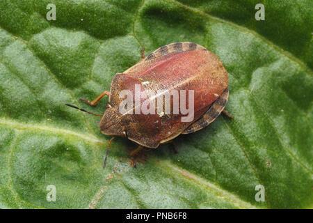 Dorsal view of Tortoise Shieldbug (Eurygaster testudinaria) on dock leaf. Tipperary, Ireland - Stock Image
