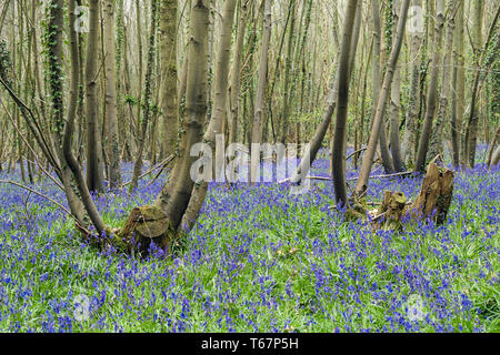 Native English Bluebells growing in a mixed Bluebell wood with coppiced trees in spring. West Stoke, Chichester, West Sussex, England, UK, Britain - Stock Image