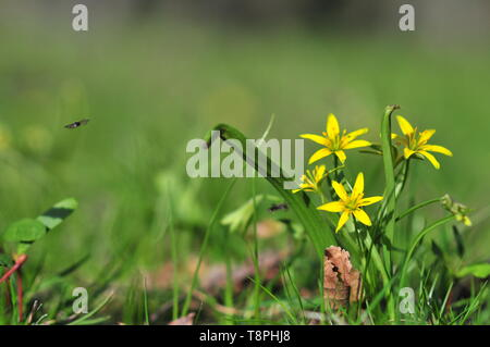 Yellow star of Bethlehem (Gagea lutea) flower on field. - Stock Image