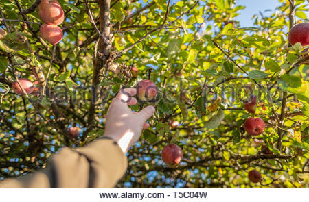 Hand reaching and picking an apple from an apple tree - Stock Image