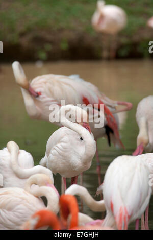 Pink Flamingo Phoenicopterus ruber Camargue cleaning itself - Stock Image