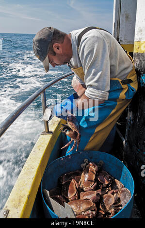 Nipping the crabs claws. - Stock Image
