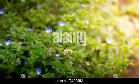 Morning blue flower on green grass field - Stock Image