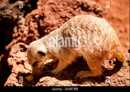 meerkat feeding on red rocks - Stock Image