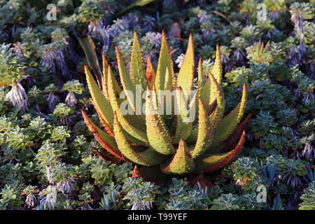 Beautiful green and red plant photographed in Funchal, Madeira during a sunny spring day.. There is some aloe vera and small cacti plants. - Stock Image