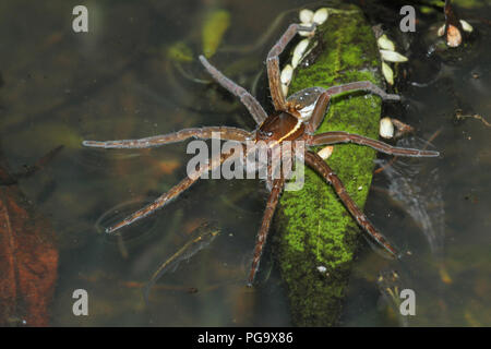A six-spotted fishing spider and minnows. - Stock Image