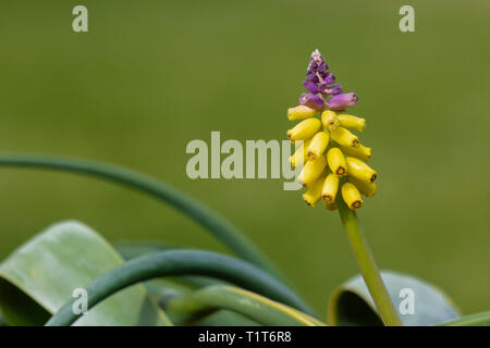 Yellow Grape Hyacinth, Muscari macrocarpum, in cultivation (origin Crete, Turkey). Family Asparagaceae - Stock Image