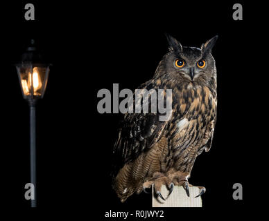 Eurasian Eagle Owl Owl (Bubo bubo) perching on a wooden fence near a street light - Stock Image