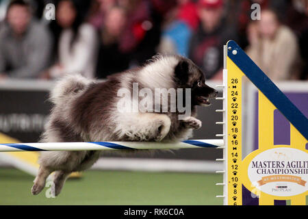 New York, USA. 09th Feb, 2019. New York, USA. 09th Feb, 2019. Westminster Dog Show - Ama, a Keeshound, competing in the preliminaries of the Westminster Kennel Club's Master's Agility Championship. Credit: Adam Stoltman/Alamy Live News - Stock Image