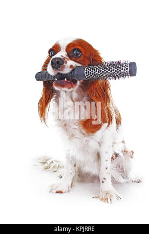 Dog with comb. Cavalier king charles spaniel dog photo. Beautiful cute cavalier puppy dog on isolated white studio - Stock Image