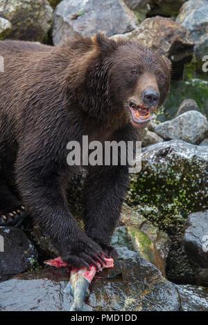Brown bears, Baranof Island, Tongass National Forest, Alaska. - Stock Image
