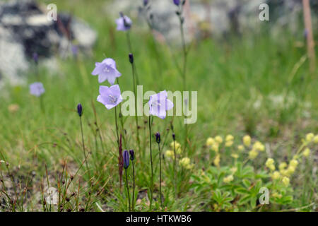 Harebells (Campanula rotundifolia) in Arctic tundra grassland habitat. Hvalsoy, Qaqortoq, Kujalleq, Greenland. - Stock Image