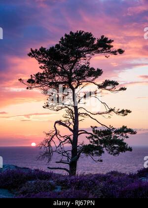 Europa, Dänemark, Bornholm, Sonnenuntergang mit Küstenkiefer, gesehen von der Steilküste südlich von Hammershus - Stock Image