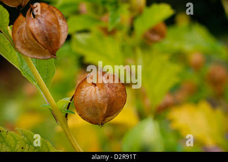 Nicandra Physalodes - Fruit Pod of the Shoo Fly Plant also known as the Apple-of-Peru, poisonous berries inside. - Stock Image