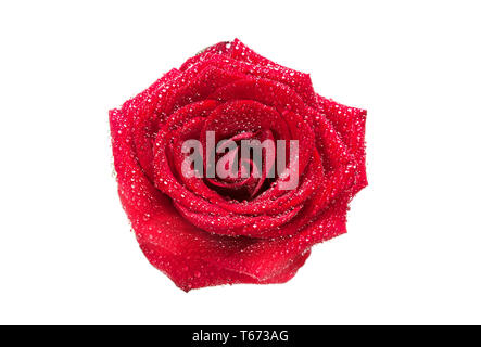 Red rose bud with water drops isolated on white background. Top view - Stock Image