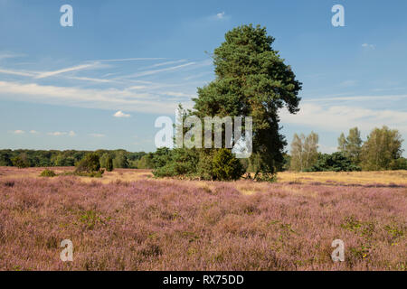 Pine and heather, Nature reserve Westruper Heide, Additional-Rights-Clearance-Info-Not-Available - Stock Image
