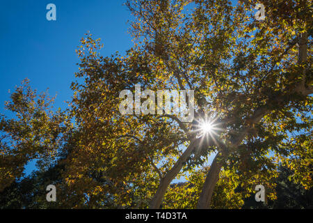 Shining sunshine light peaks through the branches of California woods. - Stock Image