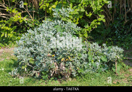 Stachys byzantina (Lamb's ear, Woolly hedgenettle) plant, a specis of Stachys, showing fluffy and fury leaves in Spring in West Sussex, England, UK. - Stock Image