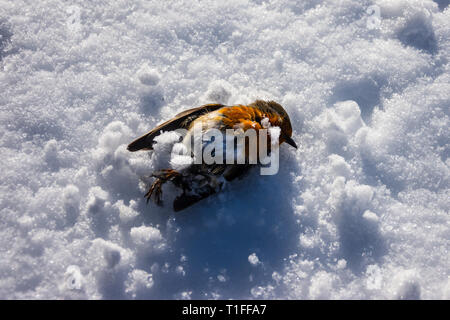 A robin (erithacus rubecula) has died during a spell of cold weather an lies on snow with a small scattering over it - Stock Image