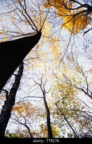 Low angle view of autumn trees against sky - Stock Image