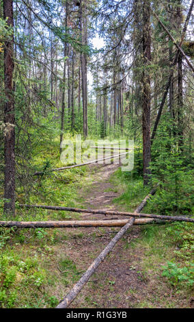 Woodland next to Athabasca Falls in Jasper National Park. - Stock Image