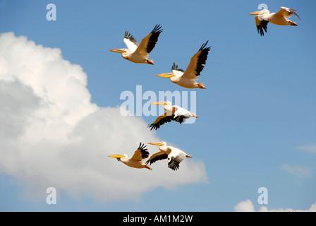 White Pelican (Pelecanus onocrotalus) flying Lake Manyara National Park Tanzania - Stock Image